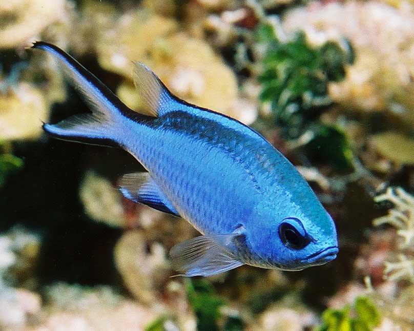 180 gallon fowlr fish stocking list 3reef aquarium forums for Blue saltwater fish