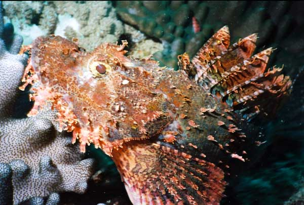 ���� ������ Scorpion Fish scorpionfish.jpg