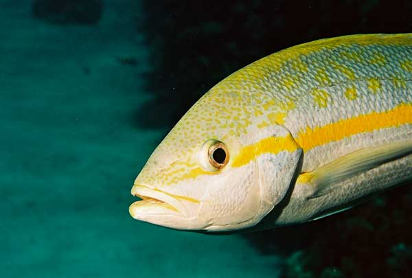 Underwater photos pictures scuba yellowtail snapper fish for Yellow tail fish